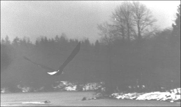 (An eagle searches for fish on the Skagit river)